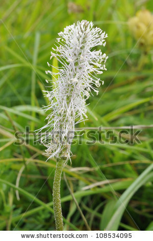 Hoary Plantain Stock Photos, Images, & Pictures.