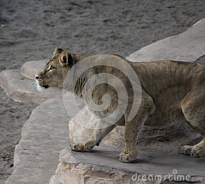 Jungle Lion Running Stock Photos, Images, & Pictures.