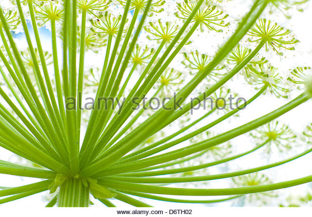 Hogweed Plant Stock Photos & Hogweed Plant Stock Images.