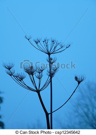 Stock Photo of Giant Hogweed Seed Heads.