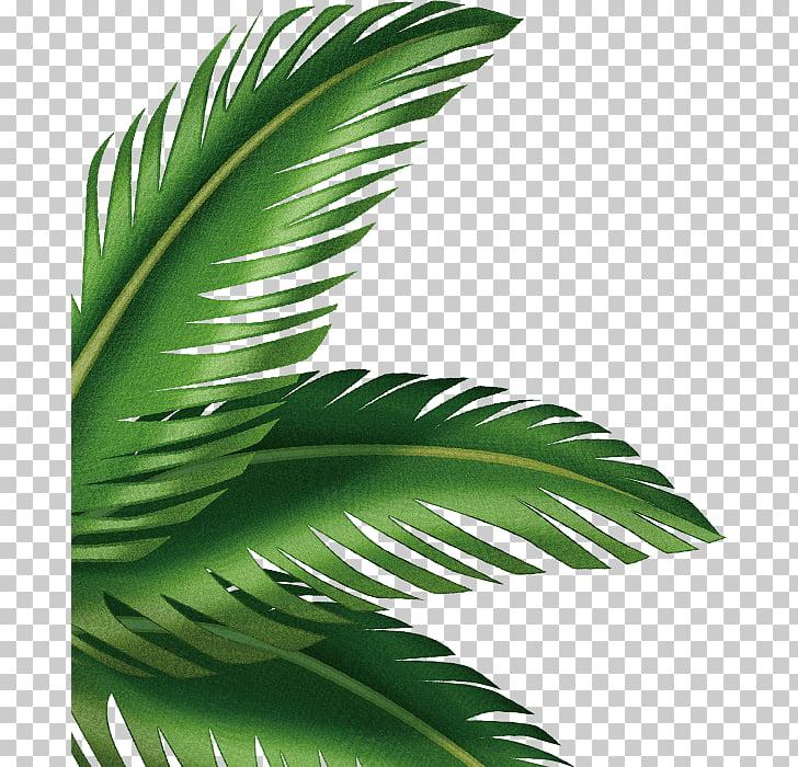 Hoja arecaceae, hojas de palma PNG Clipart.