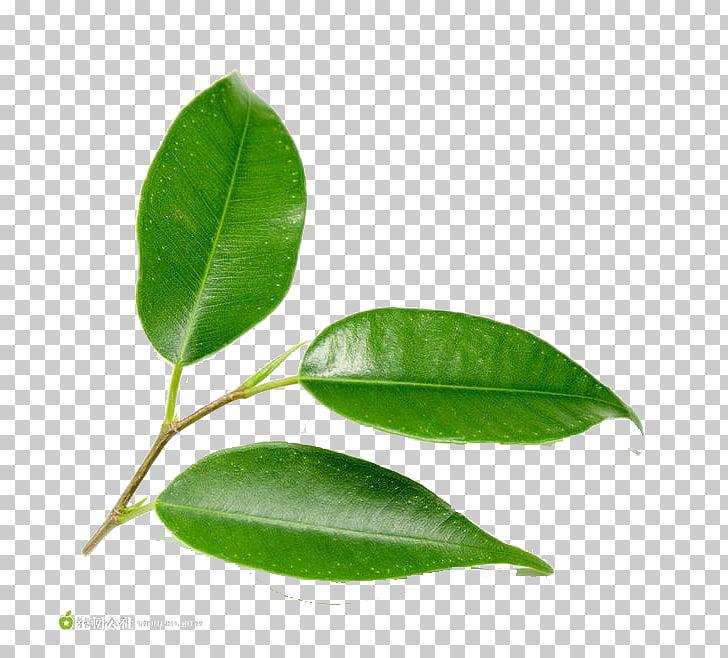Hoja verde árbol planta, delicadas hojas verdes PNG Clipart.