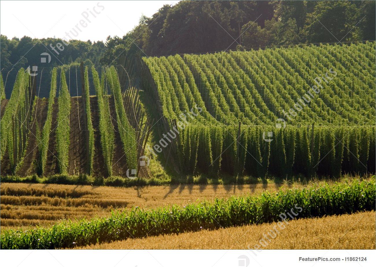 Rural Landscapes: Field Of Hops.