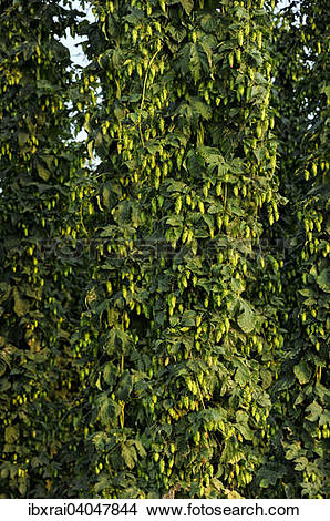 Stock Photo of Erntereifer Echter Hopfen (Humulus lupulus.