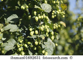 Humulus lupulus Stock Photo Images. 1,068 humulus lupulus royalty.