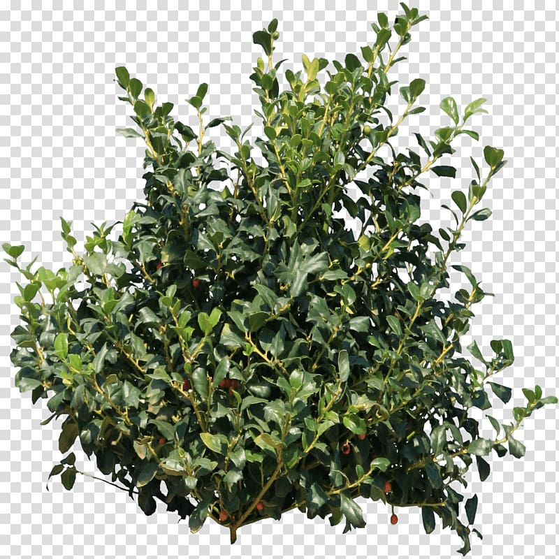 Green leaf plant , Holly Bush transparent background PNG clipart.