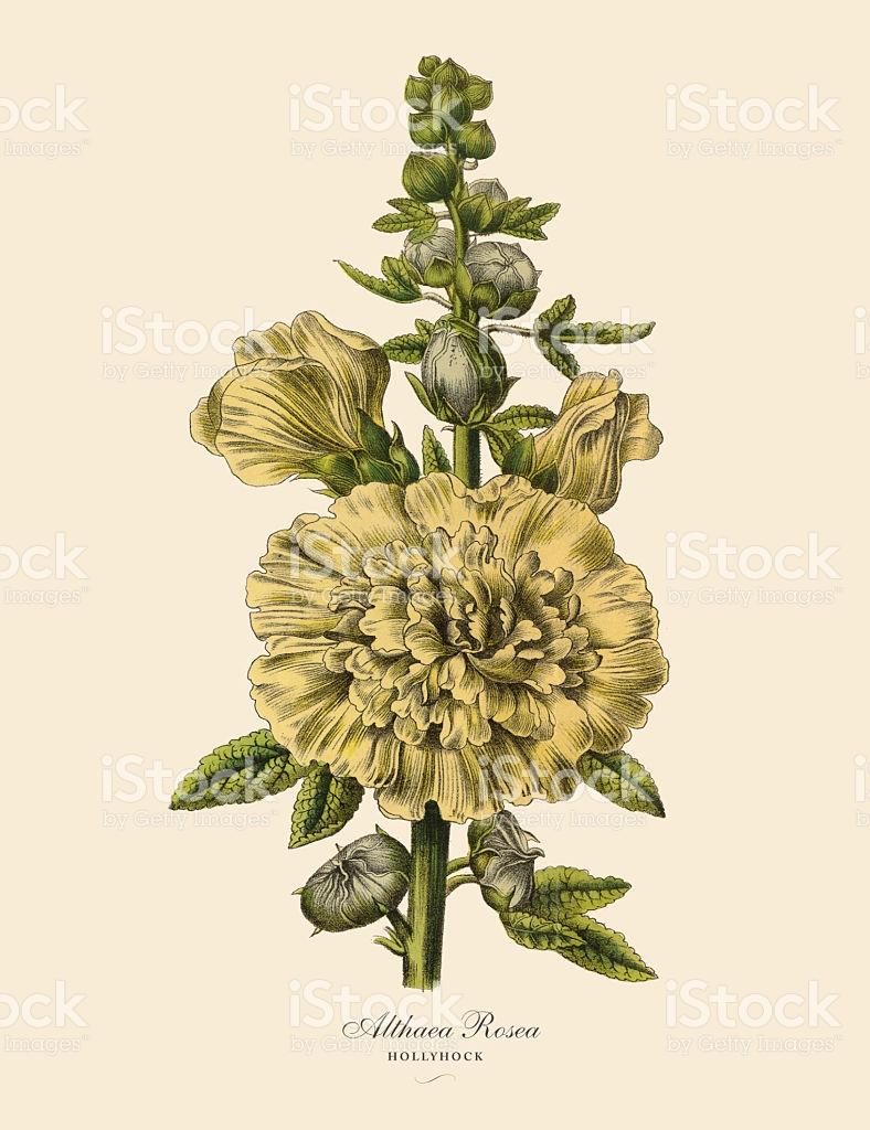 Hollyhock Or Althaea Rosea Plant Victorian Botanical Illustration.