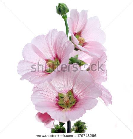 Hollyhock flower clipart - Clipground