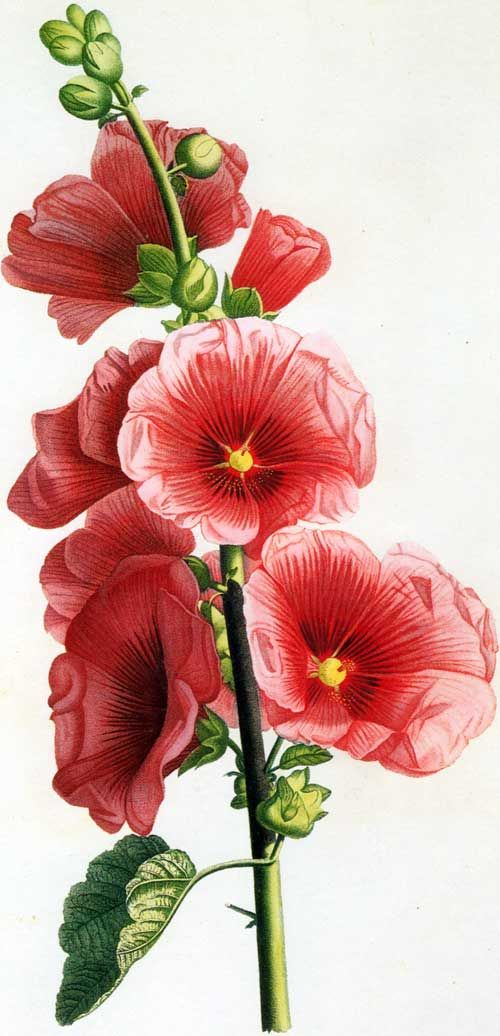 Hollyhock flower clipart - Clipground