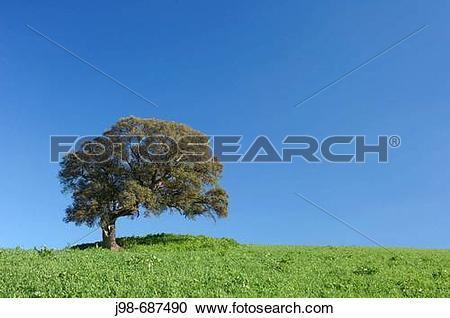 Stock Photography of Evergreen Oak / Holm Oak (Quercus ilex.
