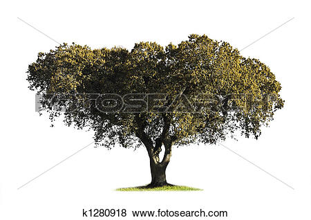 Pictures of Holm oak isolated on white k1280918.