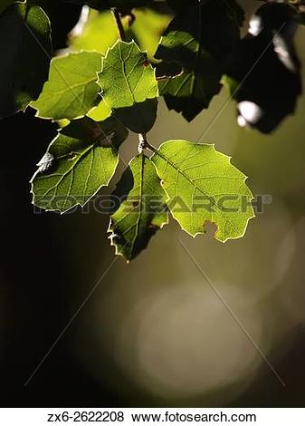 Pictures of Holm Oak (Quercus ilex) backlit leaves. Winter at.