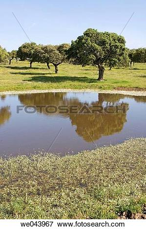 Picture of Holm oak trees in Brozas, Caceres province. Extremadura.