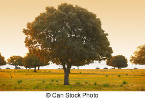 Holm oak Illustrations and Stock Art. 10 Holm oak illustration and.