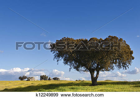 Stock Photograph of Holm oak k12249899.