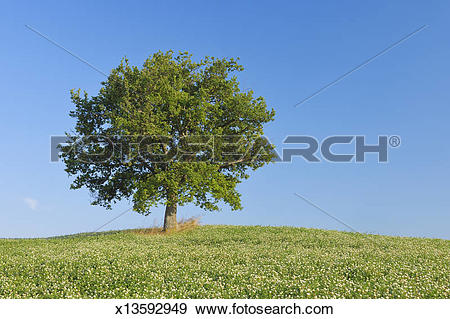 Stock Photograph of Holm Oak (Quercus ilex in clover field.