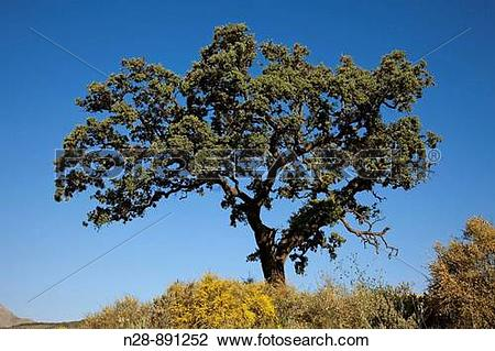 Stock Photo of Holm Oak, Sierra Subbetica, Cordoba province.