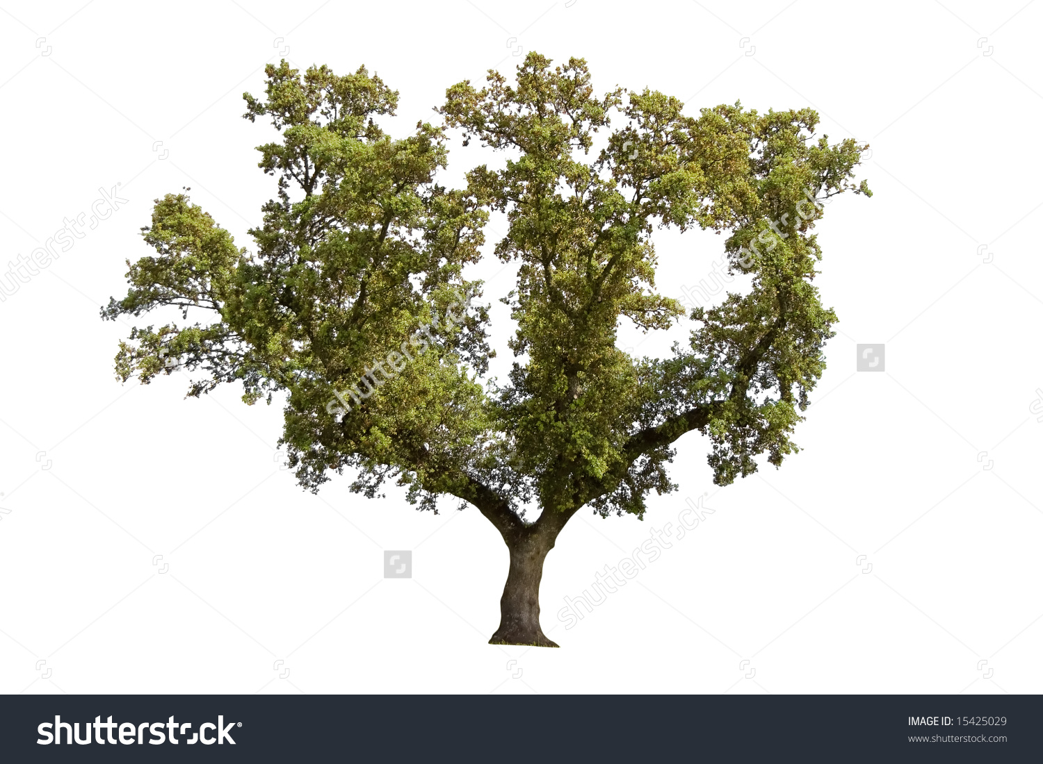 Holm Oak Isolated On White Background Stock Photo 15425029.