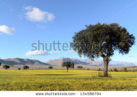 Holm Oak Stock Photos, Royalty.