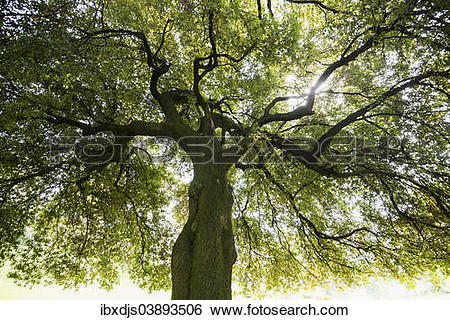 "Stock Images of ""Very old Holm Oak (Quercus ilex), gardens of."