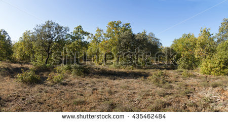 Holm Oak Wood Stock Photos, Royalty.