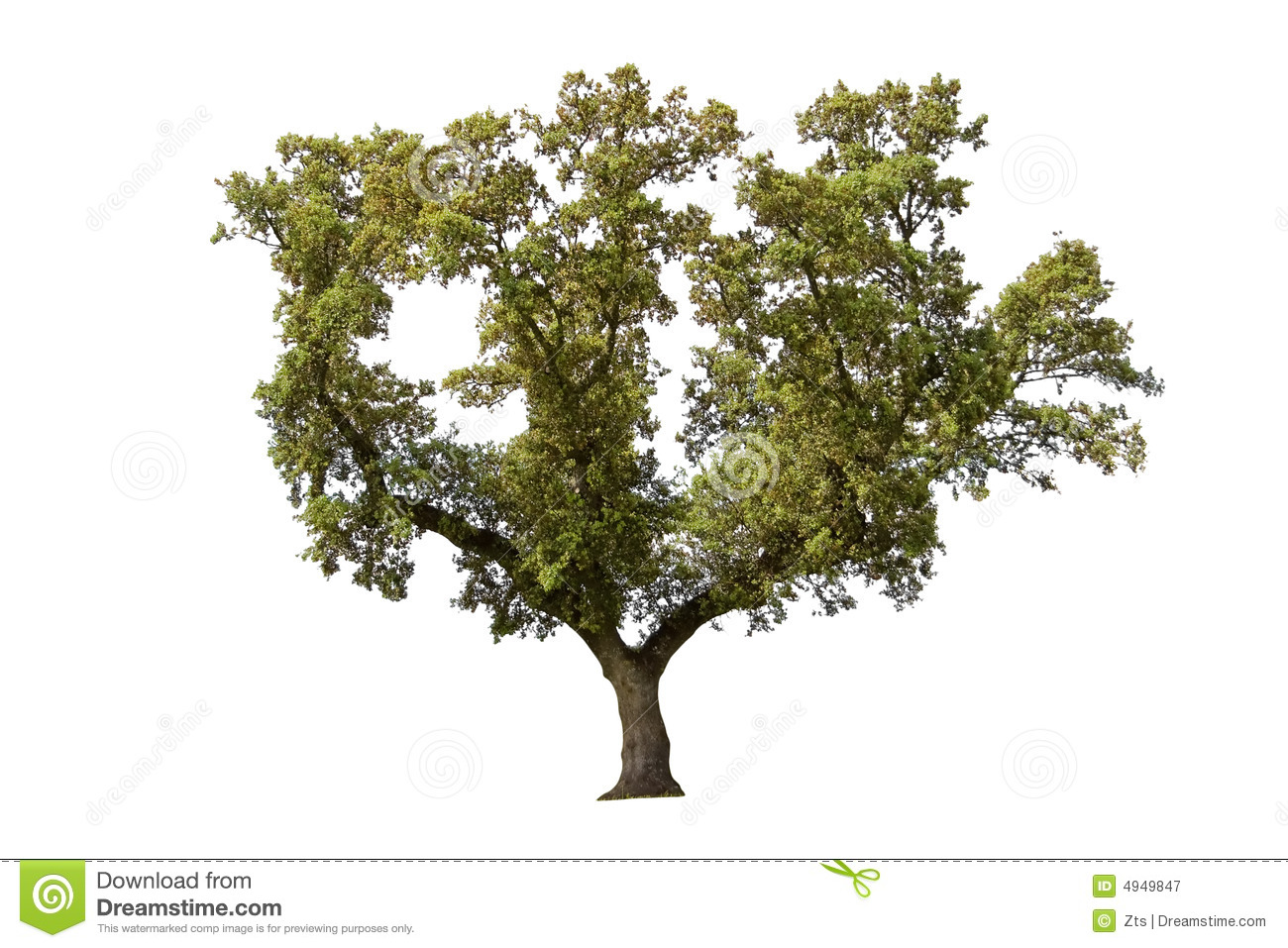 Holm Oak Royalty Free Stock Photography.