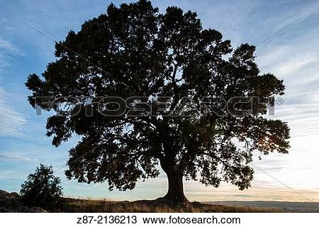 Stock Photo of Holm Oak (Quercus ilex), Almansa, Albacete province.