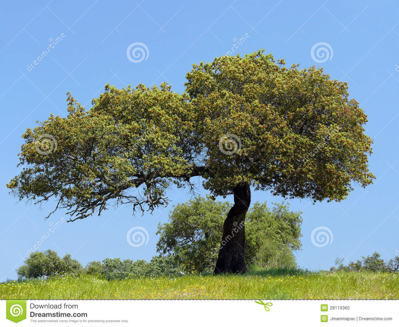 Holm Oak Tree Stock Photo.