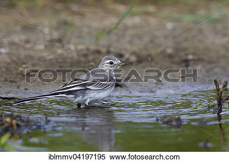 Stock Image of Juvenile white wagtail (Motacilla alba) in the.