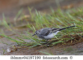 Wagtail Stock Photo Images. 1,062 wagtail royalty free pictures.
