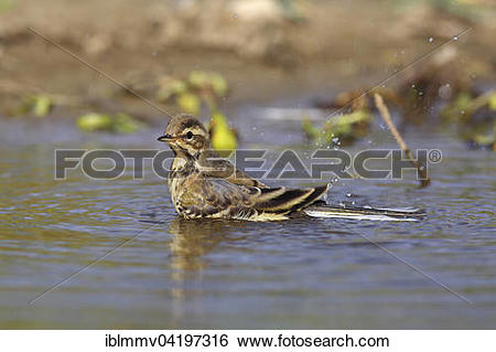 Stock Images of Juvenile Western yellow wagtail (Motacilla flava.