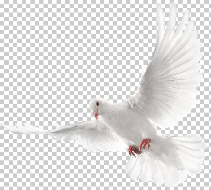 Columbidae Doves As Symbols Holy Spirit Domestic Pigeon PNG, Clipart.