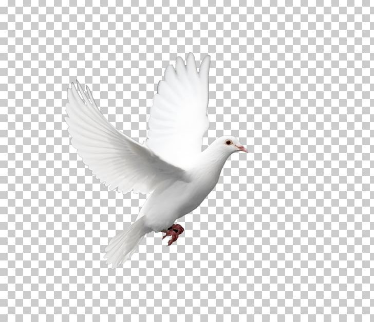Domestic Pigeon Columbidae Doves As Symbols Holy Spirit PNG, Clipart.