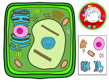 Cell clipart plant cell, Cell plant cell Transparent FREE.