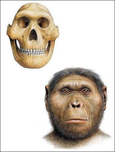 Paranthropus robustus.