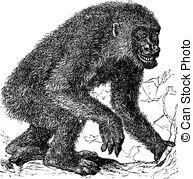 Hominidae Vector Clipart Illustrations. 19 Hominidae clip art.