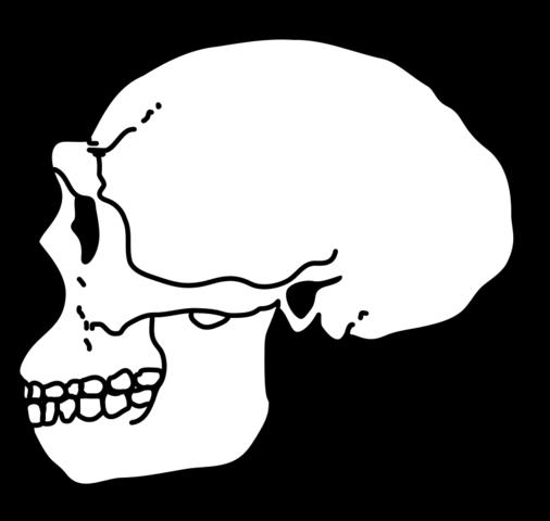 File:Erectus Skull.png.