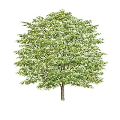 1000 ideias sobre Honey Locust Tree no Pinterest.