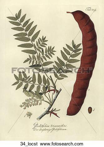Stock Illustration of Antique Botanical Illustration of Honey.