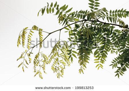 Locust Tree Stock Photos, Royalty.