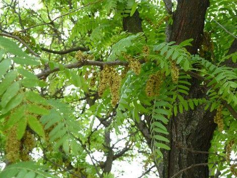 Clipart honey locust tree leaf and seed.