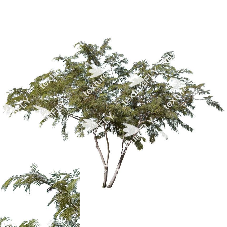 Mesquite tree clipart.