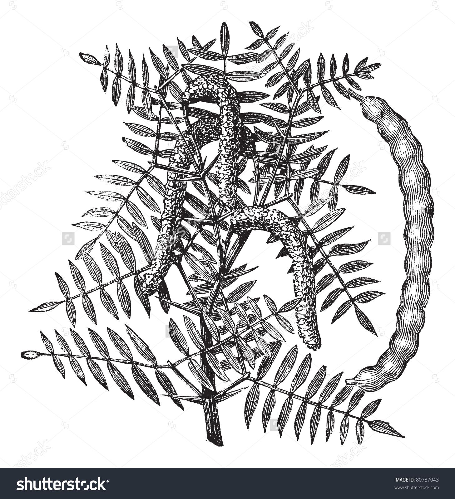 Mesquite (Prosopis Glandulosa) Or Honey Mesquite, Vintage Engraved.