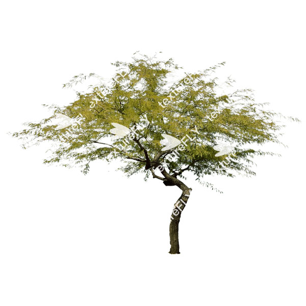 Palo verde tree clipart.