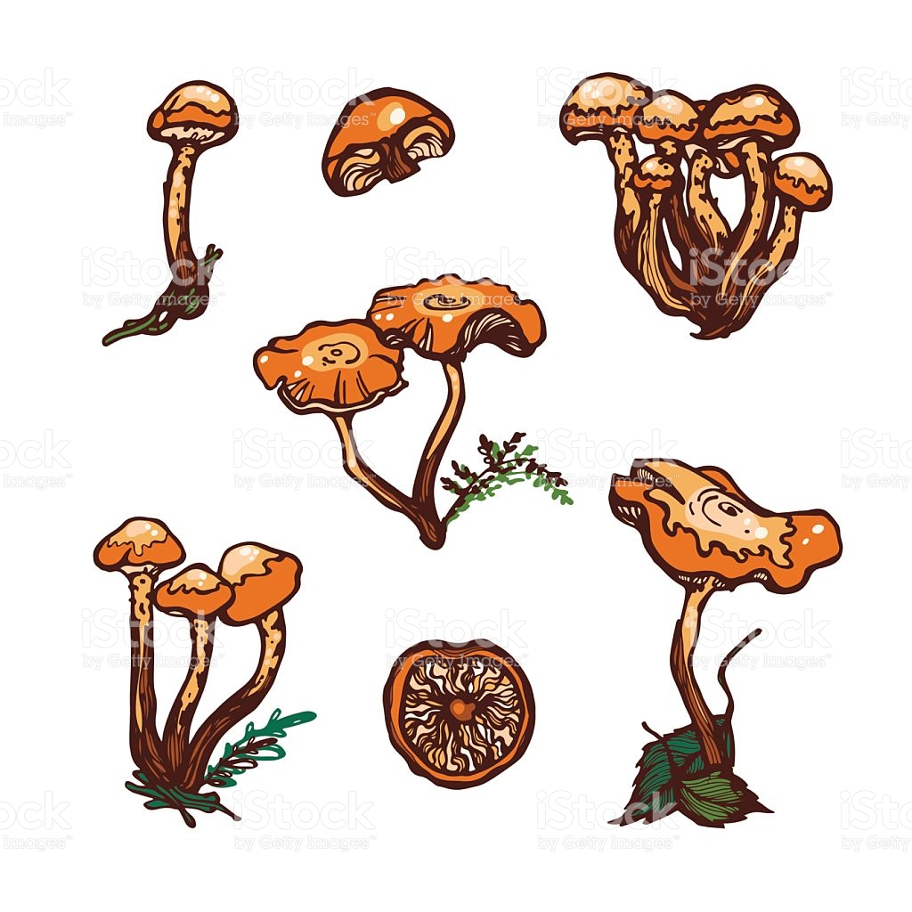 Collection Of Forest Wild Mushrooms Honey Mushrooms stock vector.