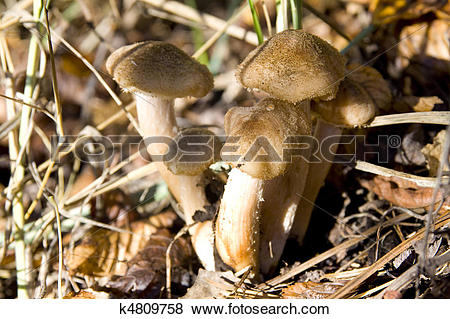Pictures of Honey Mushrooms k4809758.