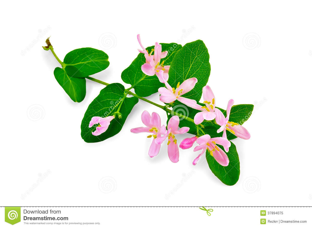 Honeysuckle A Twig With Pink Flowers Royalty Free Stock Photo.