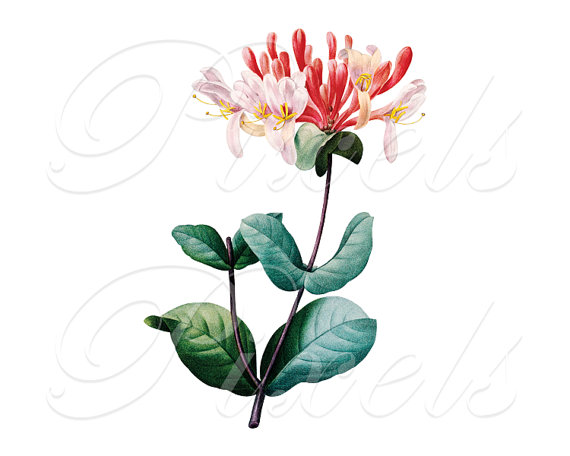 HONEYSUCKLE Instant Download Large Digital Image by PixelsTransfer.