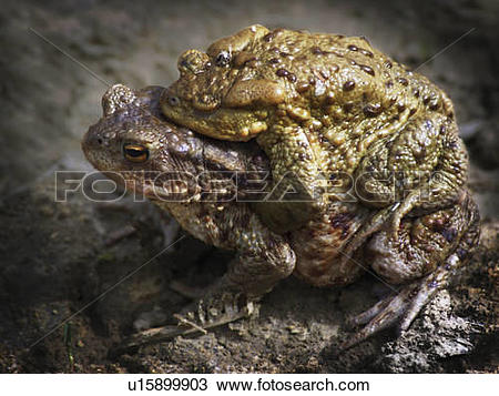 Stock Photo of love big frogs mating horny toads u15899903.