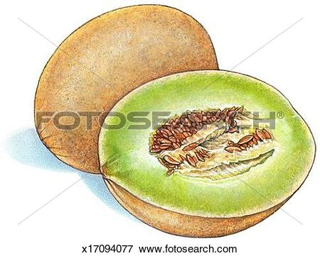 Stock Illustration of Honeydew Melon x17094077.